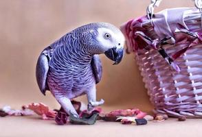 afrikansk grå papegoja och nötter foto