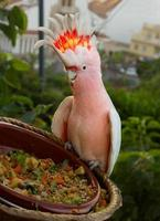 cacatau papegoja