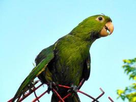 maritaca (vitögd parakiter) - leucophthalmus aratinga foto