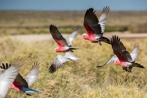 australien cacatua galahs närbild porträtt foto