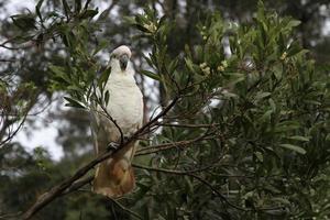 kakadua på en gren foto