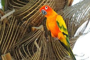 vackra färgglada sun conure papegoja i naturen foto