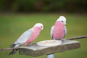 rosa och grå galah foto