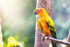 sun conure papegoja foto
