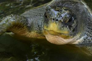 grön havssköldpadda