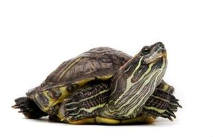 sköldpadda isolerad på vitt foto