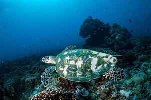 havssköldpadda i gili lombok nusa tenggara barat under vattnet foto