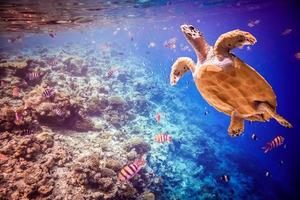 hawksbill sköldpadda - eretmochelys imbricata
