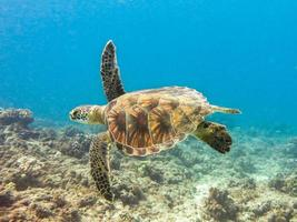 yound havssköldpadda över revet