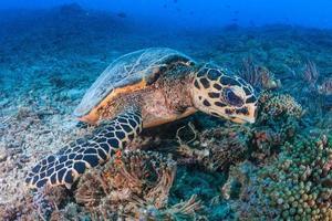 utfodring av hawksbill sköldpadda foto