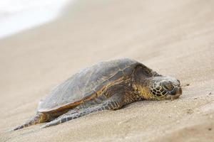 vacker hotad grön havssköldpadda foto