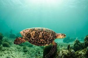 Karibisk havssköldpadda foto