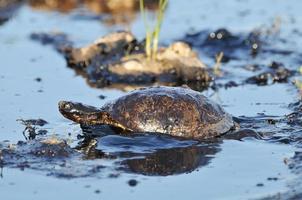 sköldpadda med petroleum foto