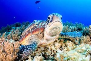 grinig grön sköldpadda foto