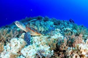 grön sköldpadda på ett tropiskt korallrev foto