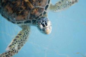 havssköldpaddor i barnkammaren i Thailand foto