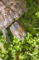 rödörda sköldpadda i naturen