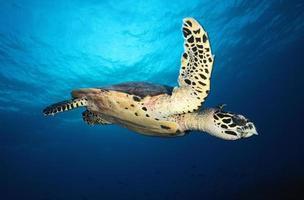 hawkbill havssköldpadda / eretmochelys imbricata