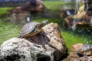 två sköldpaddor foto