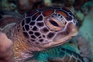 grön sköldpadda
