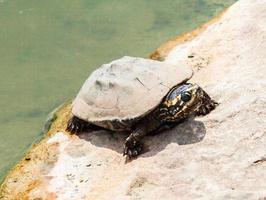 nära upp smutsig sköldpadda på sten i damm plats