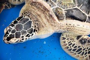 havssköldpadda bevarande foto