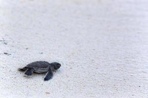 grön sköldpadda kläckningar