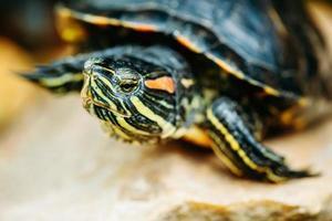 liten rödörsköldpadda, damm terrapin foto