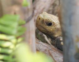 porträtt av en östlig rutig sköldpadda