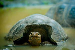 sköldpadda i san cristobal galapagosöarna foto