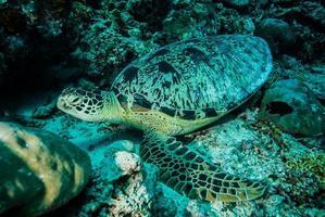 grön havssköldpadda vilar i derawan, kalimantan, Indonesien under vattnet foto