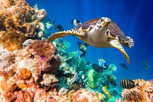 hawksbill sköldpadda - eretmochelys imbricata foto
