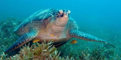 jätte sköldpadda över havsgräset i Röda havet foto