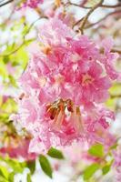 tabebuia heterophylla (rosa trumpetträd)