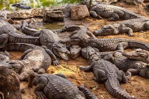 krokodilalligator foto