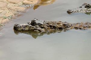 alligatorjakt foto