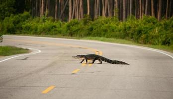 alligator korsar vägen foto