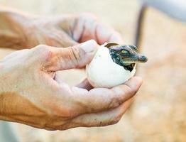 från ägget liten amerikansk krokodil foto