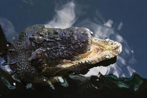 krokodiler australien foto