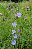 blå blommor av cichorium