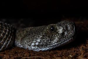 texas skralla orm Cotalus atrox som ligger i bakhåll på natten foto