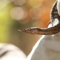 profilvy av vipera ammodytes foto