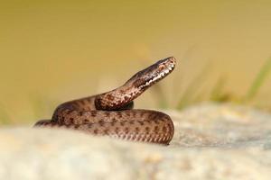 vacker reptil vipera berus foto