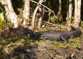sunning florida everglades alligator