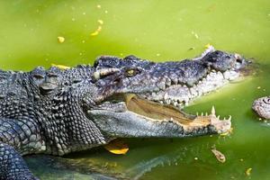 krokodil med öppen mun isolerad på vit bakgrund foto