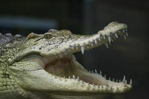 krokodilreptil foto