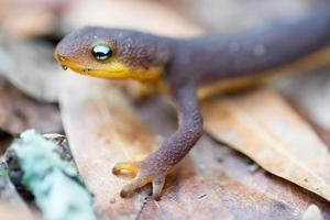grovskinnad newt (taricha granulosa) foto