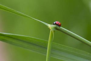 nyckelpiga på gräsblad foto