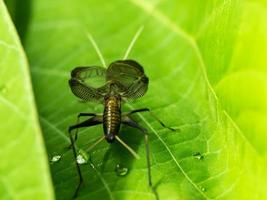 bell cricket som sjunger med skakande vingar foto
