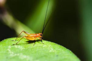 conocephalus melas liten röd ung cricket foto